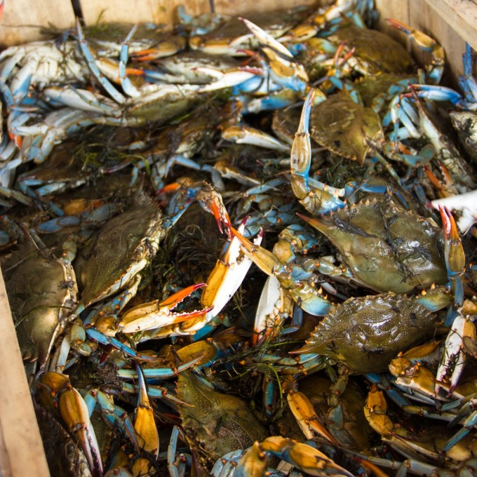 Live blue crabs ready for a tasty Cajun recipe.