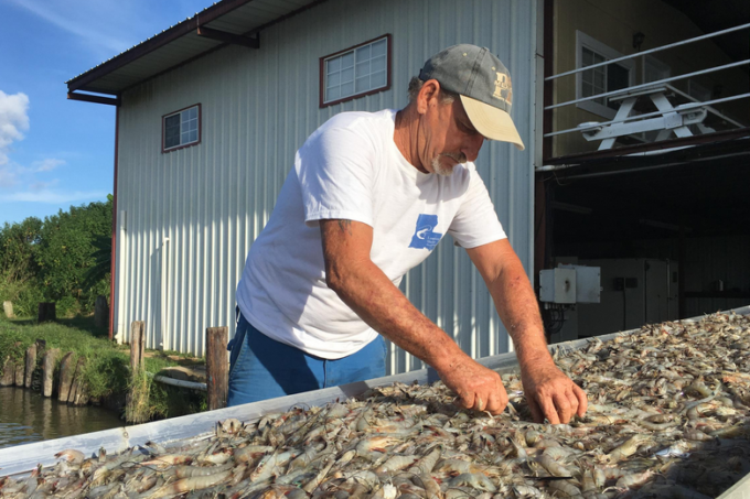 After a night's catch, Acy Cooper sorts shrimp dockside. (Photo credit: Travis Lux)