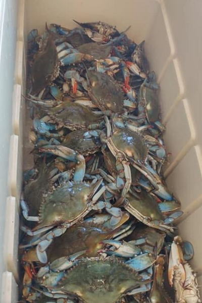 Live blue crabs heading to the steamer. (Photo credit: Internet archive)